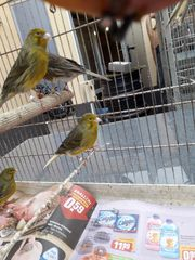 Kanarienvögel Timbrado classico