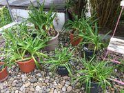 Kräftiger Agapanthus Afrikanische Schmucklilie lila