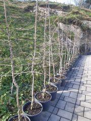 Apfelbäumen im Topf