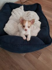 Chihuahua welpe langhaar rüde