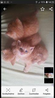 Bkh Maine Coon Mix Kitten