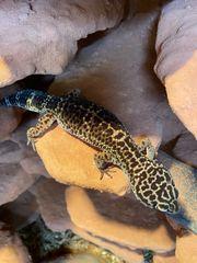 Eublepharis Macularius Leopardgecko Black night