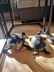 Wasserschildkröten Speedy und Ella
