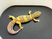 Adulte Leopardengeckos Weibchen abzugeben