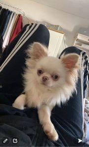 Wunderschöner langhaar Chihuahua Rüde