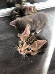 Bkh mix kitten