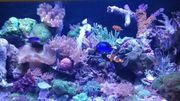 Diverse verschiedene Korallenableger zu verkaufen