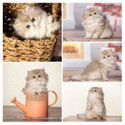 Edle BLH Britisch Langhaar Kitten