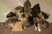 BKH Mix-Kitten abgabebereit