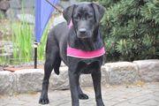 Labrador Fellnase Stella 10 Monate