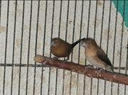 Silberschnäbel Paar Prachtfinken Exoten