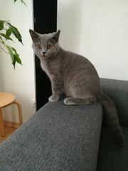 Katchen BKH reinrassige
