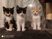 Perser Maincoon Kitten suchen Dosenöffner