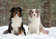 Suche Australian Shepherd Border Collie
