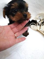 Yorkshire terrier Hundin