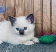 Blaue Augen Ragdoll Kätzchen