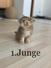 BKH Schottisch fold kitten