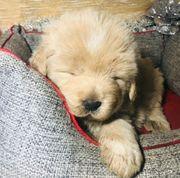 Welpen Tibetische Mastif