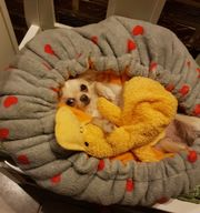 Chihuahua Hündin Zasoo