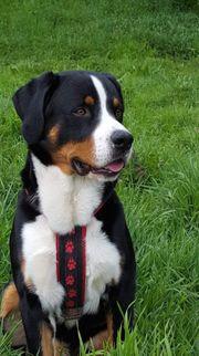 Appenzeller Sennenhund Deckrüde Kein Verkauf