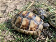 Schildkröte Breitrandschildkröte