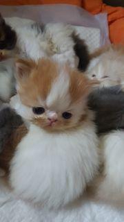 Zuckersüße Perserbabys