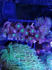 Clavularia tricolor koralle
