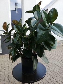 Pflanzen - Gummibaum