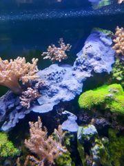 blau grauen Schwamm Meerwasser Korallen