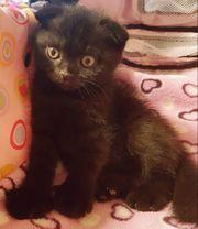 Baby Kitten Katzen BKH Schottische