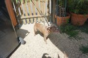 Französische Bulldogge Rüde in isabella