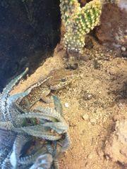 Grosskopfgecko s