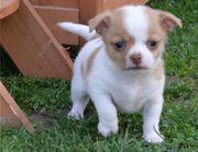 Wunderschöne Chihuahua Hündin mit Ahnentafel