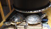 Gelbwangenschildkröten suchen schönes Zuhause