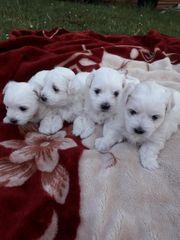 Süße Hunden
