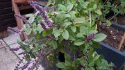 hoher Blumenkübel mit blauem Strauchbasilikum -
