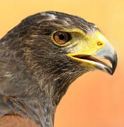 Falkner sucht Grundstück für Greifvogelvoliere