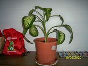 Verkaufe Zimmer Pflanze ca 60