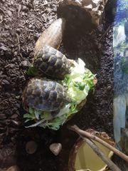 Zwei Maurische Landschildkröten