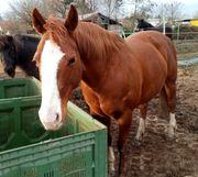 Reitbeteiligung an Quarter Horse Stute
