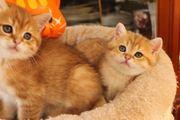BKH Kitten golden spodet shadet
