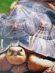 Astrochelys Radiata Strahlenschildkröten Nachzuchten 2021