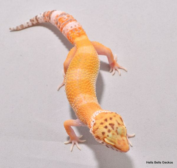 Leopardgecko Hypo Bell Weibchen ID18S06