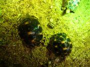 Strahlenschildkröte RADIATA Weibchen female high