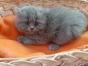 Britisch langharr Kitten abzugeben
