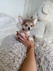 Chihuahua Rüde langhaar