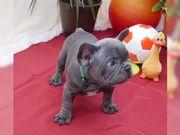 Französische Bulldoggen Welpe **