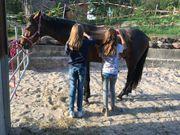 Altwürttemberger Wallach Pferd Württemberger
