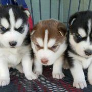 Tolle Siberian Husky Welpen bdjdndbb