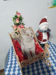 Wunderschöne BKH kitten mit Top